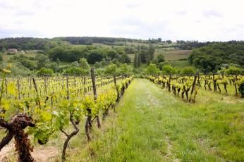 Chardonay vines